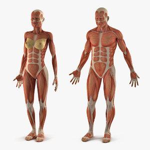 3D model male female muscular anatomy