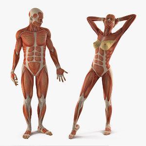 male female muscular anatomy model