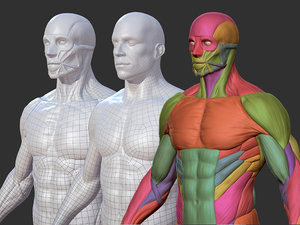 character male anatomy body 3D model