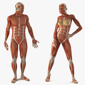 3D male female muscular anatomy