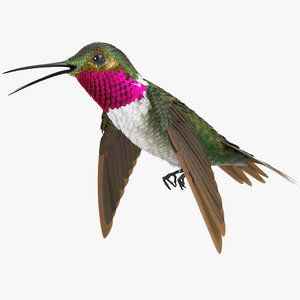 3D model broad tailed hummingbird rigged