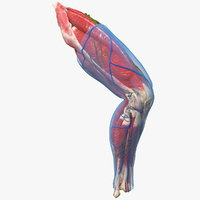 Human Knee Joint Anatomy Rigged