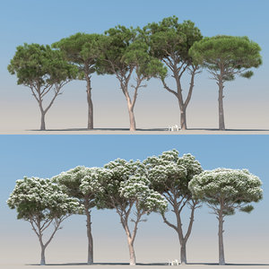5 pinus pinea tree leaves 3D model