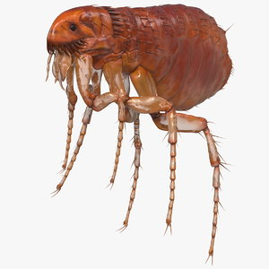 3D flea insect rigged model