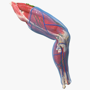 3D model human knee joint anatomy