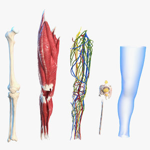 human knee joint anatomy 3D