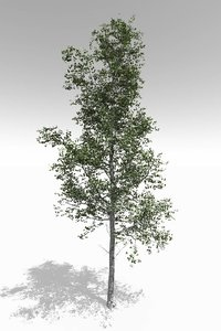 3D quaking aspen adult