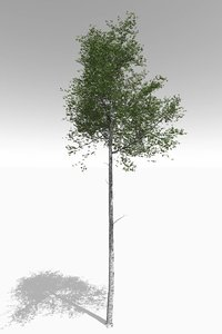 3D quaking aspen tall mature model