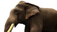 asian elephant 3d rig model