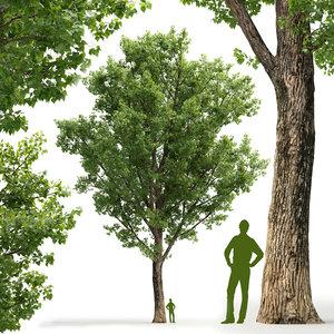 poplar deltoid 3D model