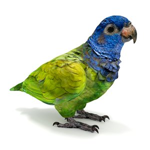 3D blue headed pionus parrot