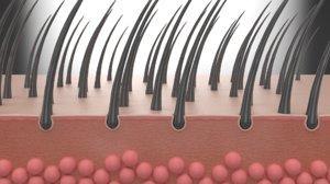 skin hair anatomy 3D