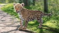 Panthera onca Baby Rigging