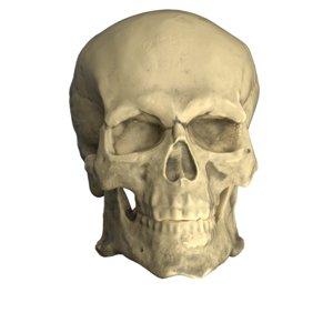 robust skull cranium 3D model
