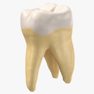molar upper jaw right model