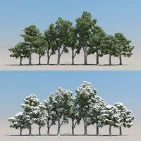 10+10 Pinus Brutia