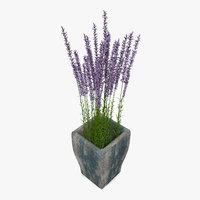 Lavender In Wooden Plant Pot