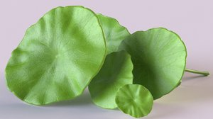 centella asiatica herbaceous 3D model