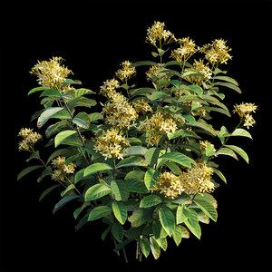 ixora plant set 03 3D