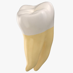 molar upper jaw right 3D model