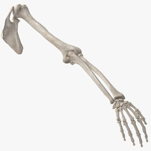 3D model human arm scapula bones anatomy