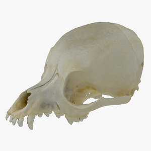 miniature pinscher skull 01 model