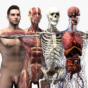 3D model realistic organs rigged