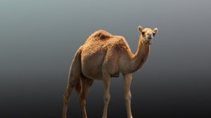 camel animations 3D