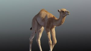 3D camel animations baby model