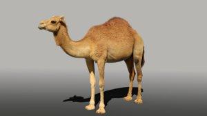 3D model camel fur baby