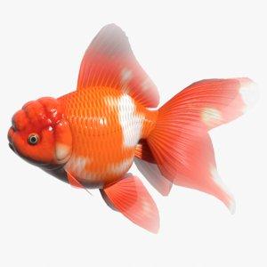 3d oranda goldfish
