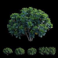 Gardenia angustifolia Merr 03