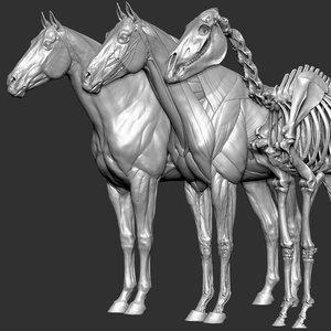 horse anatomy eqine ecorche 3D model