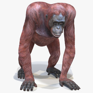 orangutan female animations 3D model