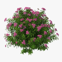 Blooming Spiraea Japonica Anthony Waterer Bush