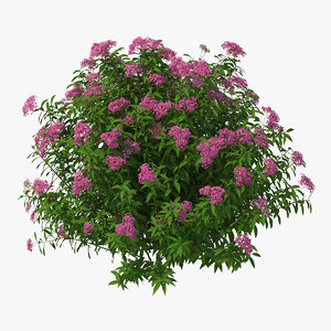 3D blooming spiraea japonica anthony
