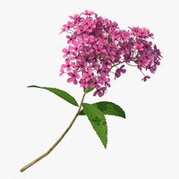 Blooming Spiraea Japonica Anthony Waterer Branch