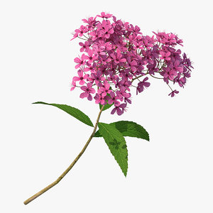 blooming spiraea japonica anthony 3D