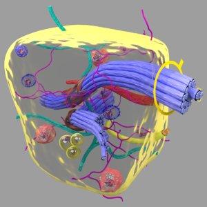 3D connective tissue elements labelled