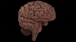 anatomy brain pack cerebellum 3D model