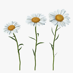 leucanthemum vulgare flowers set 3D model