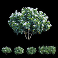 Gardenia angustifolia Merr 05