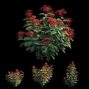 3D ixora plant set 01 model