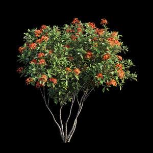 3D ixora plant set 05