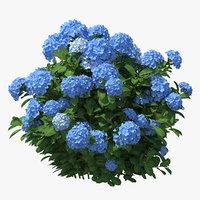 Hydrangea Macrophylla Nikko Blue Bush