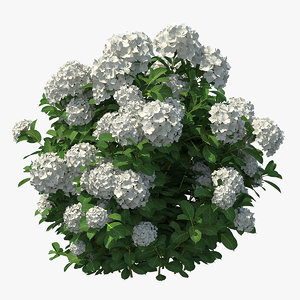 white hydrangea macrophylla bush 3D model