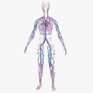 female cardiovascular anatomy circulatory 3D model