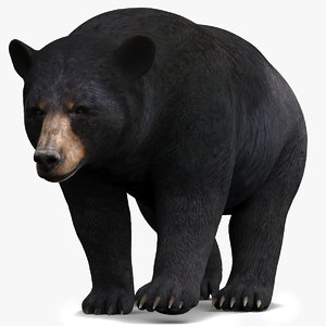 3D black bear animal