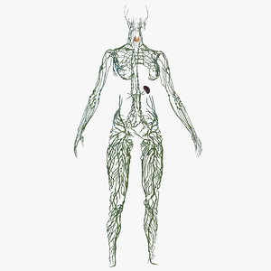 3D model female lymphatic anatomy
