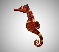 Realistic High Detailed Rigged Low Poly Seahorse